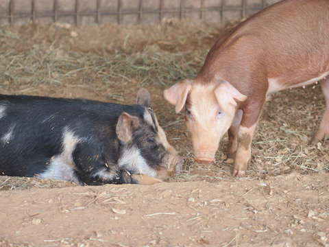 Couple picture by Black pig and brown pig talking something in the zoo