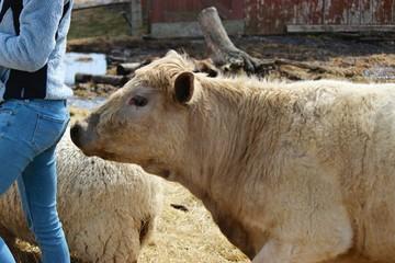 Funny Cow Sniffs Tush