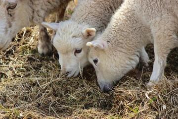 Cute young lambs grazing