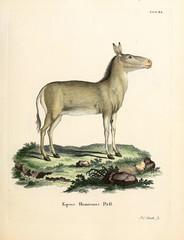 Illustration of a donkey