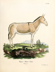 Illustration of a donkey