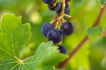 Black grapes with green leaves