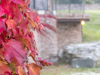 Side closeup of creeper plant with red leaves and blue berries in autumn on old stone wall in the background other buildings