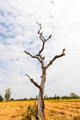 The dead tree decayed only to the branches. In the middle of the field and the white sky.