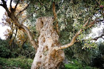 Greece, Peloponnese, Messinia, Kalamata, olive grove, aged olive tree.