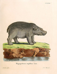 Illustration of a Hippo