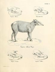 Illustration of a tapir.