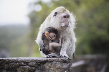 Egret monkey with baby