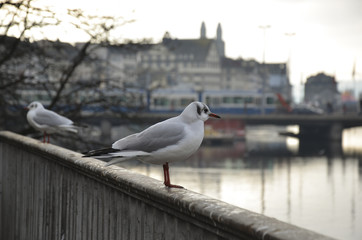 Seagulls at the Limmat River. Zurich.