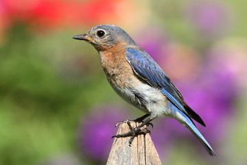 Fotoväggar - Female Eastern Bluebird
