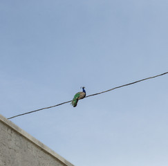 Peacock on wire 1