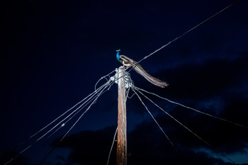 Peacock standing on electric pole during night