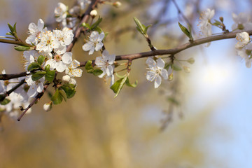 time when the flowers bloom in with the garden/ blossoming cherry tree in the spring