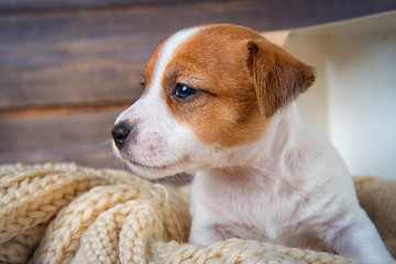 Funny puppy Jack Russell Terrier sitting on a blanket in a box and looking to the side on wooden background close-up