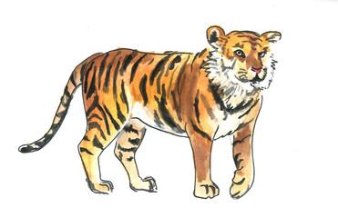 This is watercolour painting of wild tiger. It is illustration suite into the child books.