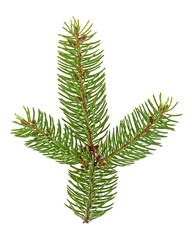 Close up of fir tree branch isolated on white background