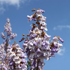 Fleurs de Paulownia tomentosa