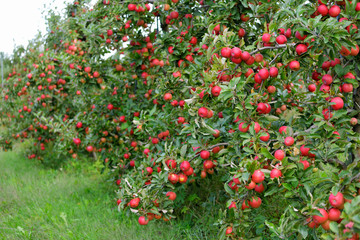 Lots of Red Apples Hanging Low on Tree Branches
