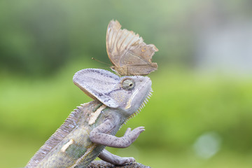 cameleon and butterfly, animal,