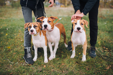 Three puppies of the American Staffordshire terrier are white and brown color from one litter.