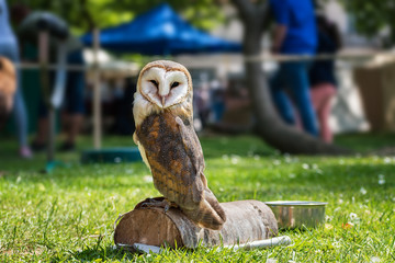 Barn owl (Tyto alba) on green grass – closeup portrait