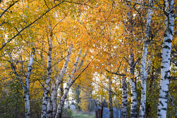 The path strewn with autumn yellow leaves of trees. Autumn alley