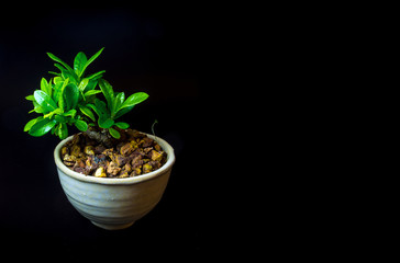 Small tree in white ceramic pot on black background
