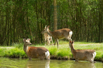 Group of roe deer near the pond. Sommer shooting in the park. Some roe deer go in the water some stand ashore.