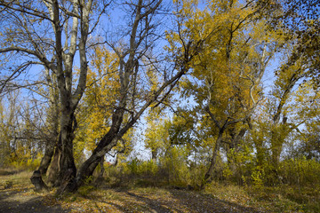 Autumn poplar trees shed their leaves. Fall in nature