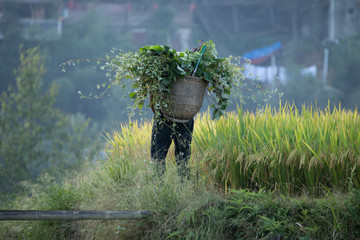 Rice Planting Longji rice terraces