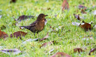 Female blackbird walks through the garden