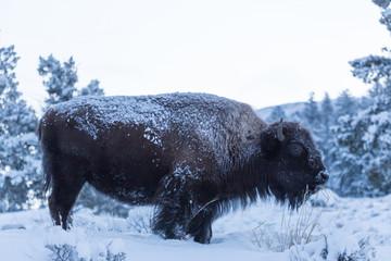 Fotorolgordijn Bison Bison