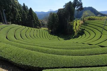 和束町 原山の円形茶園