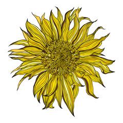 Hand drawn blooming sunflower