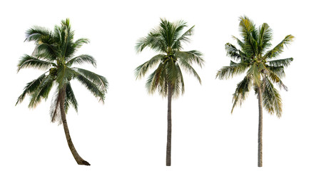 collection Palm coconut the garden isolated on white background.