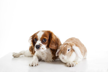 Cute cavalier king charles spaniel dog puppy on isolated white studio background. Dog puppy with lop bunny rabbit. Cute.animals together.