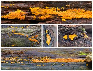 bisporella citrina fungus