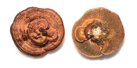 Daedaleopsis confragosa fungus
