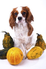 Cute cavalier king charles spaniel dog puppy on isolated white studio background. Dog puppy with pumpkins pumpkin vegetable. Thanksgiving or holiday concept. cute.