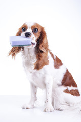 Cute cavalier king charles spaniel dog puppy on isolated white studio background. Dog puppy with cleaning kitchen sponge. Little helper. Sponge.