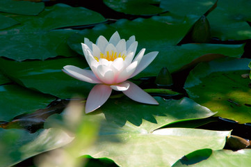 White waterlily in green leaves