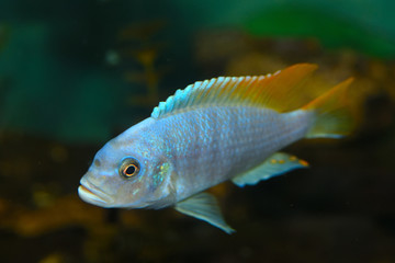 Deep Water Hap (Placidochromis electra) Aquarium Fish