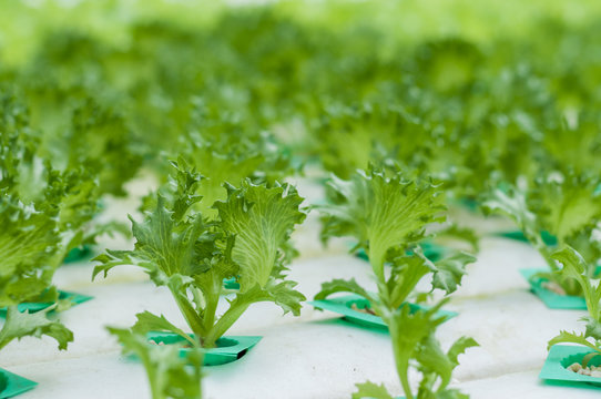 Young lettuce growth in hydroponics system