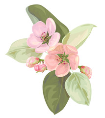 Spring blossom (bloom), branch with pink apple tree flowers close-up. Bouquet light floret, buds, green leaves, white background. Digital draw illustration in watercolor style for design, vector