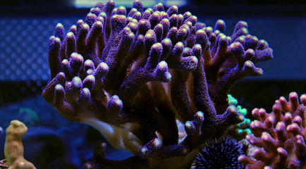 Colorful sps coral in saltwater reef aquarium