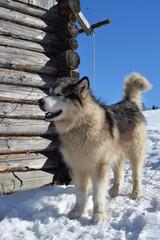Alaskan malamute barking