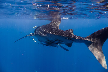 whale shark in the Indian Ocean