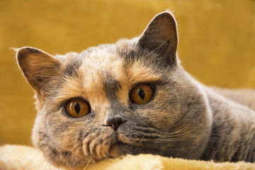 Close Up Photo Of A British Shorthair Cat Lying On An Sofa