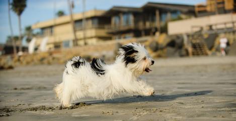 Havanese dog running on Del Mar dog beach in California