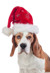 Beagle in Santa hat on white background.